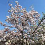 Blühende Bäume Fulda