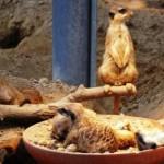 erdmännchen kölner zoo