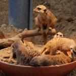 kölner zoo erdmännchen