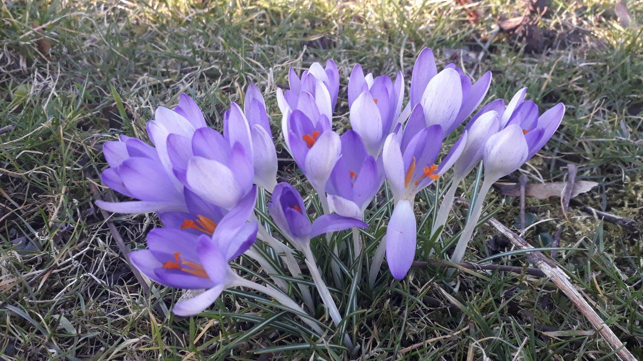 Frühlingsblumen im Schloßpark Fulda